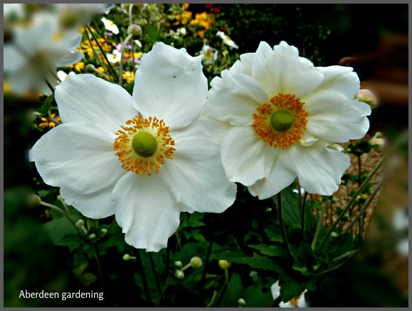japanese anemone honorine jobert aberdeen gardening. Black Bedroom Furniture Sets. Home Design Ideas