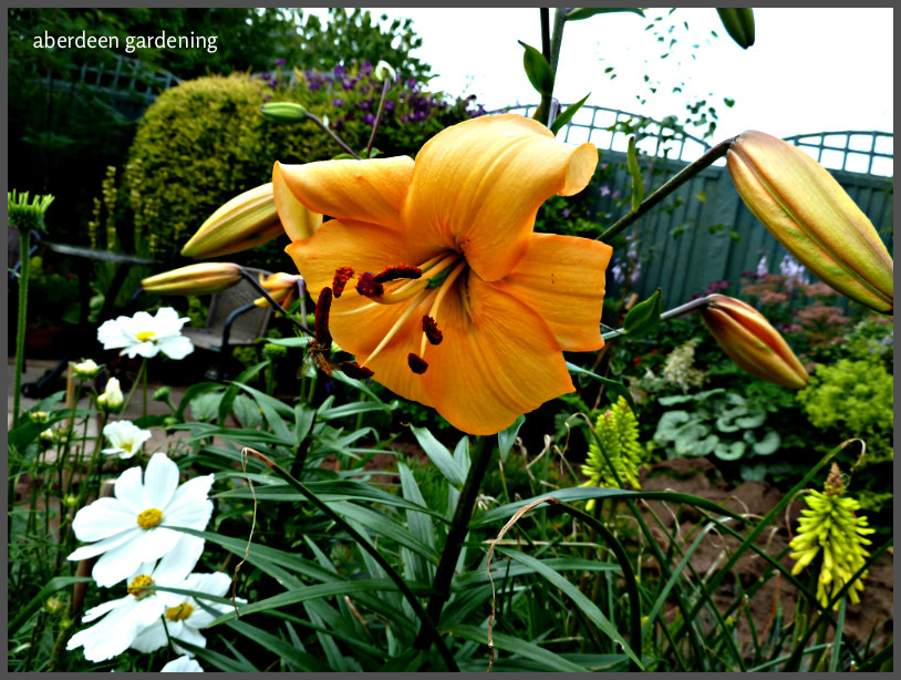 Asiatic Lily pearl justein