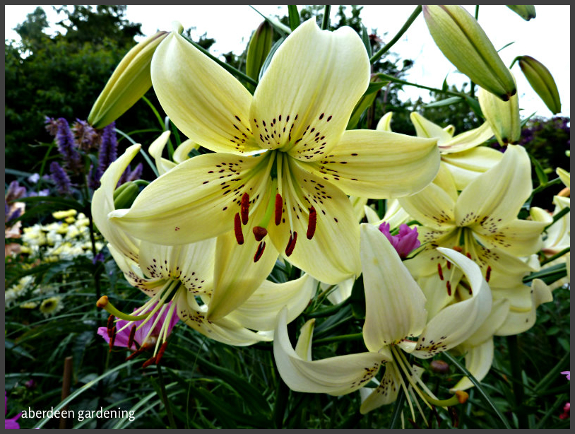 Asiatic Lily white pearl (2)