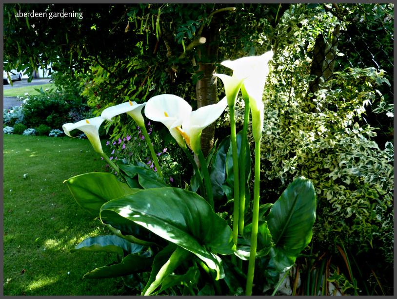 Cala lily Zantedeschia aethiopica (1)