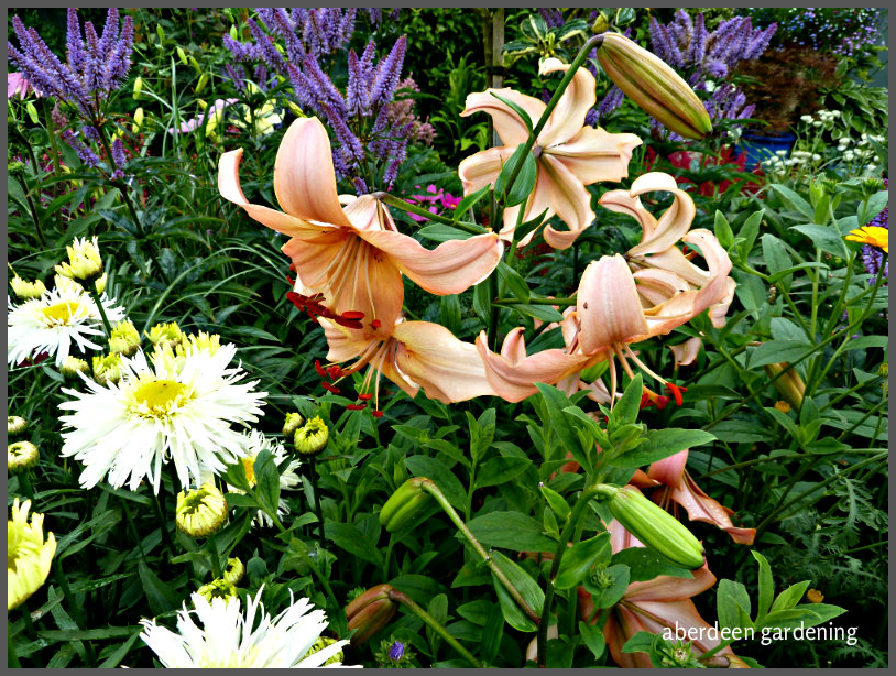 asiatic lily pearl carolina (5)