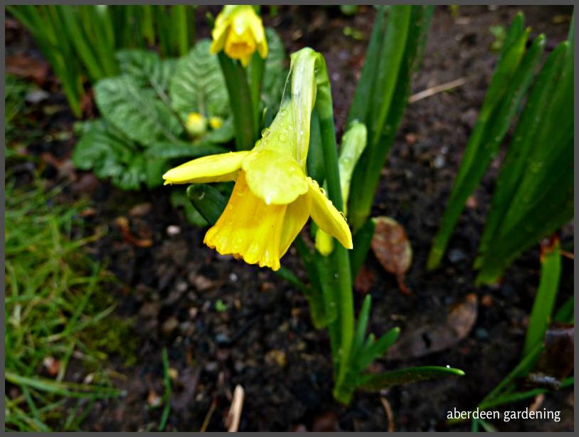 Daffodil tete e tete
