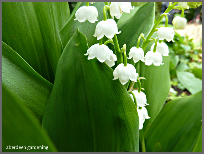 Lily of the valley 'Convallaria Majalis' (8)