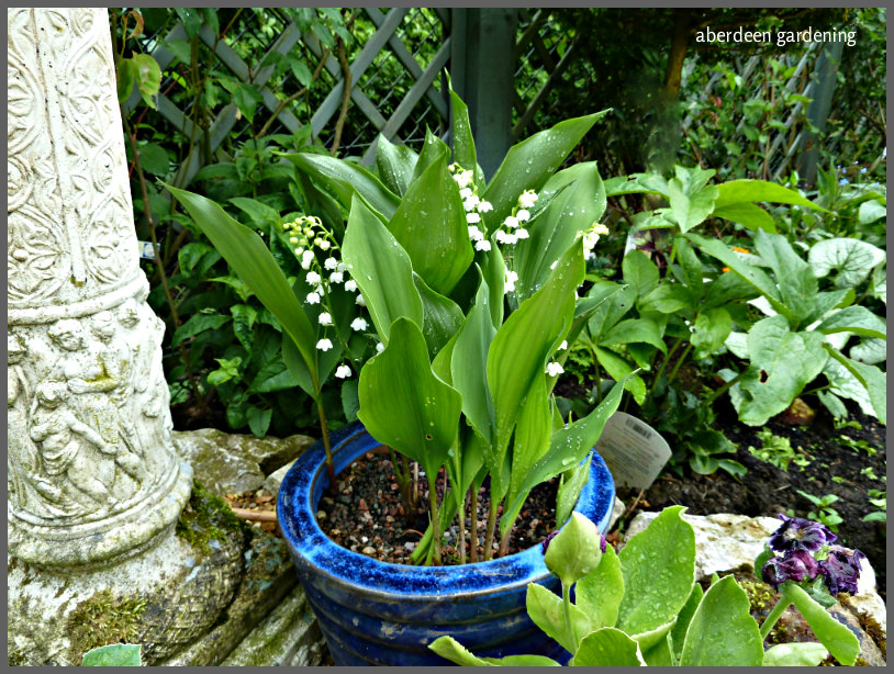 Lily of the valley 'Convallaria Majalis' (9)