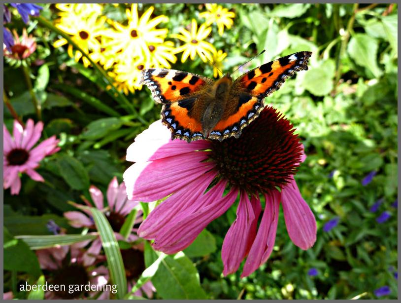 echinacea-purpureamagnus-13