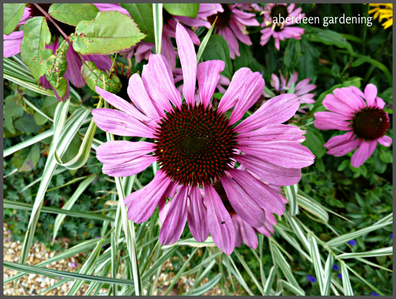echinacea-purpureamagnus-6
