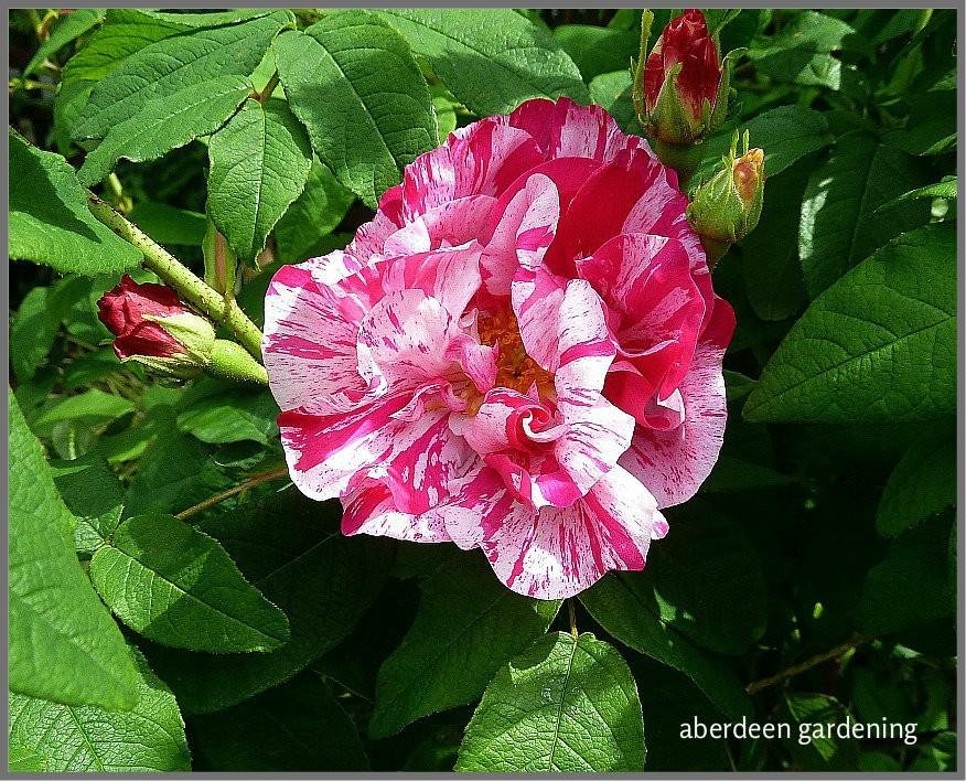 Rosa Mundi growing in Aberdeen