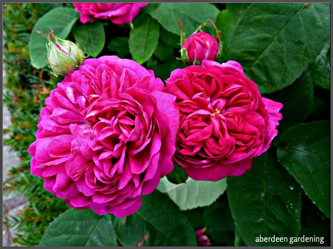 Rose de rescht