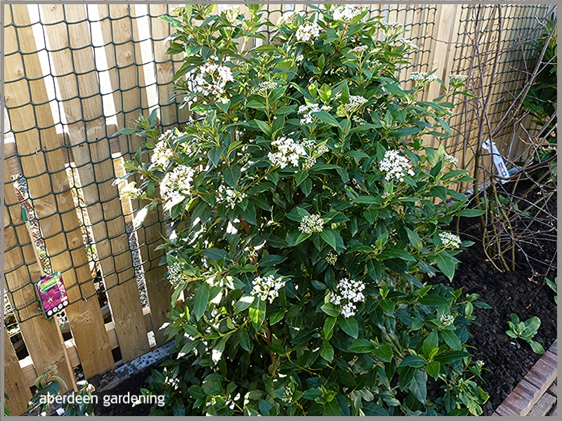 Aberdeen gardening plant profiles and information for the amateur gardener - Viburnum tinus eve price ...