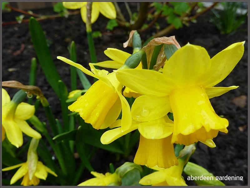 Daffodil tete-a-tete