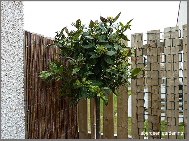 Laurus Nobilis bay tree