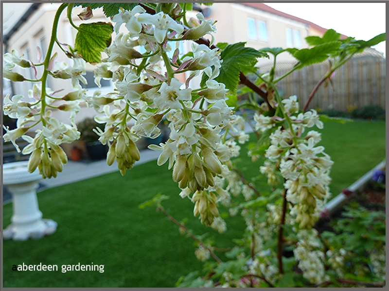 Ribes White Icicle