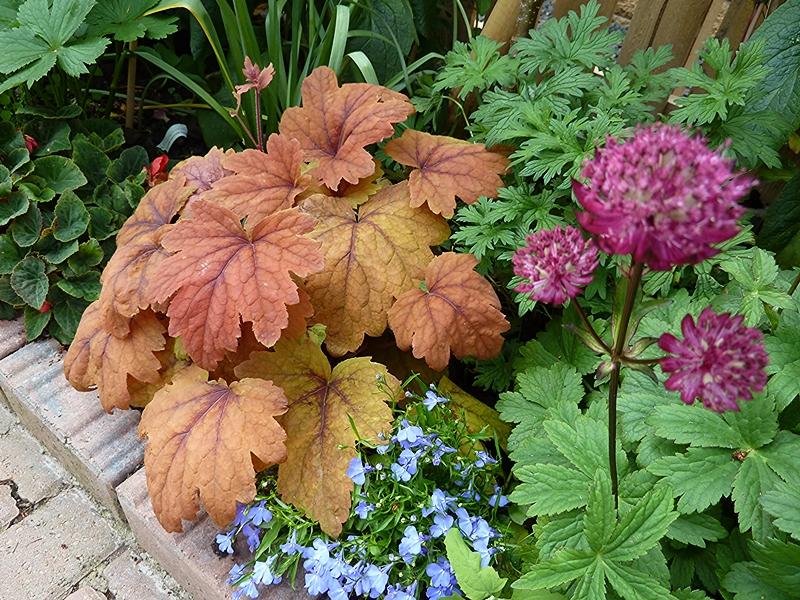 Heucherella Sweet Tea growing well in the courtyard border