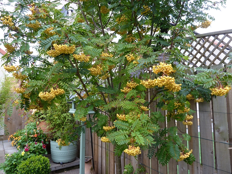 Rowan Joseph Rock looking very good with its yellow berries