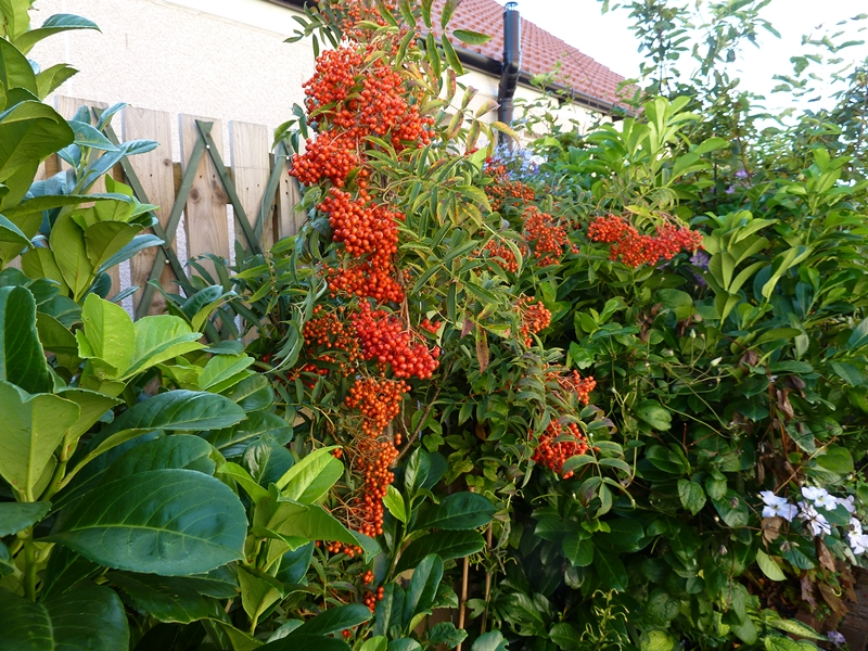 Young Rowan tree Comixta smothered in red berries