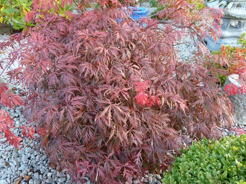Acer palmatum dissectum watnong   the perfect dwarf acer.