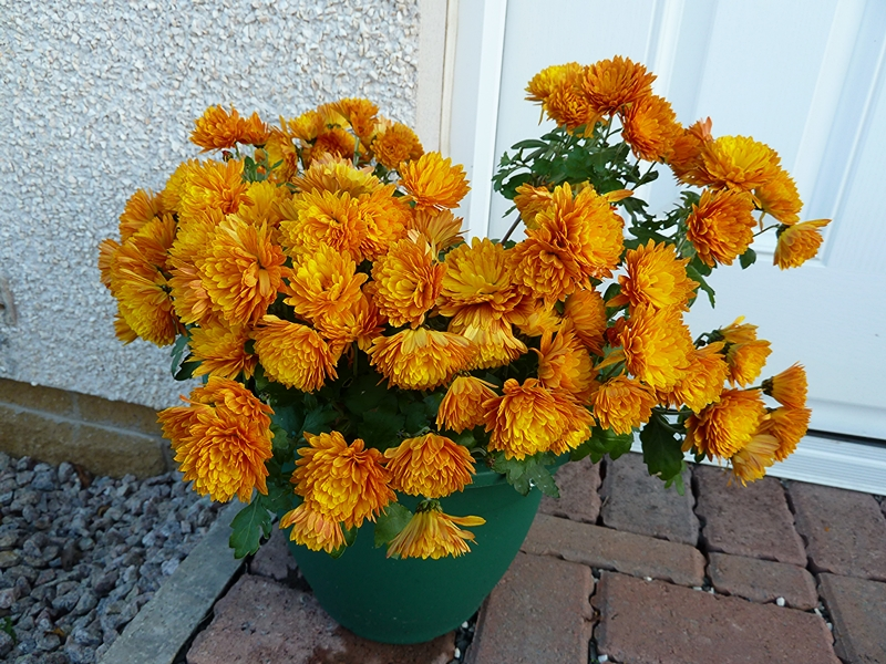 These dwarf Chrysanthemums are really great. I love the colour of Chrysanthemum meridian yellow.