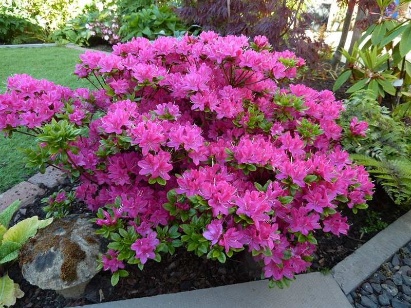 Azalea Kermesena in full bloom. The evergreen leaves are smothered with pink flowers.