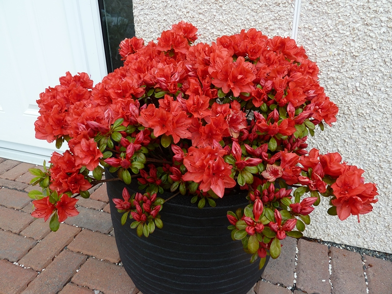 Azalea Torchlight growing in a tub at our front door
