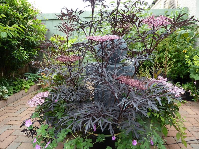 Picture of Sambucus Nigra Black Lace in full bloom.