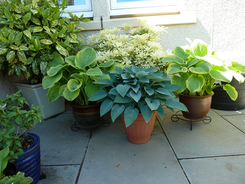 Fabulous Hosta Halcyon, centre of picture