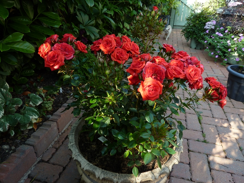 Patio Rose Birthday Wishes. Smothered in masses of red blooms and shows how successful patio roses can be