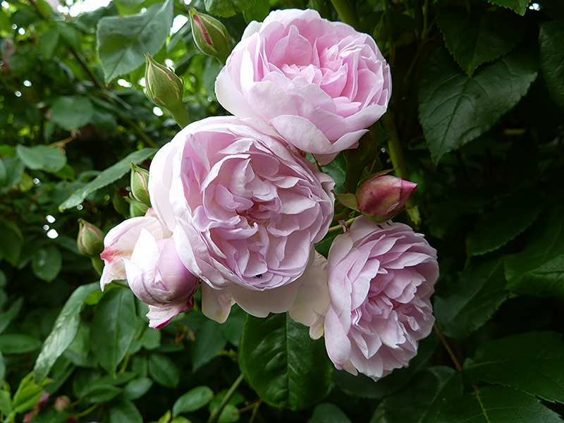 A close up group of Blush Noisette flowering in July