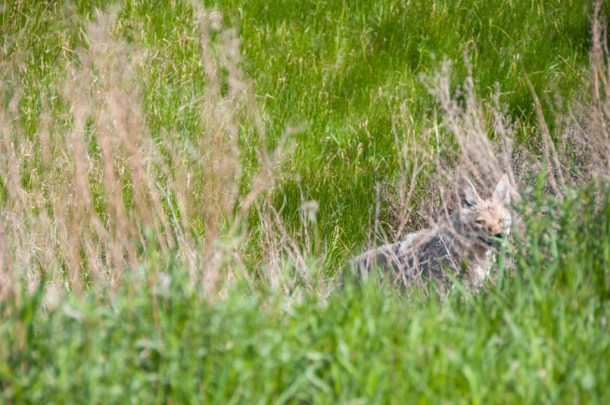 Yellowstone Coyote in Hiding