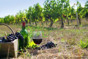 Greek vineyards