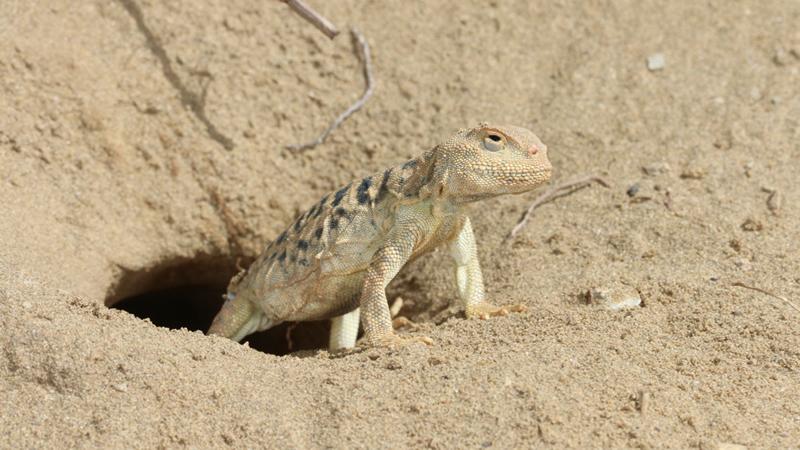 Phrynocephalus vlangalii
