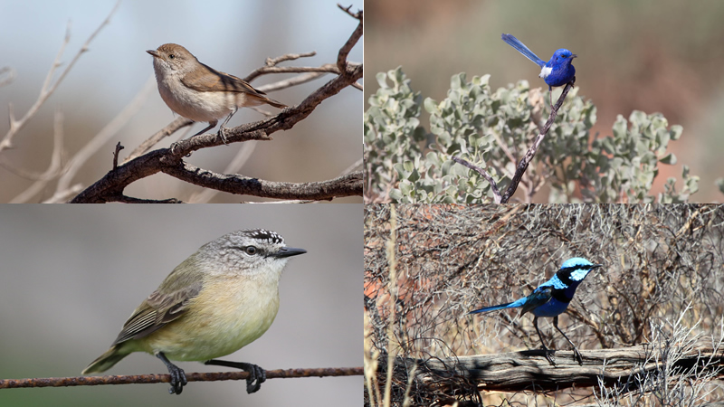 Thornbills and fairy wrens