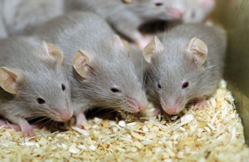 شركة مكافحة الفئران