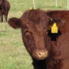 Red Devon cross heifer