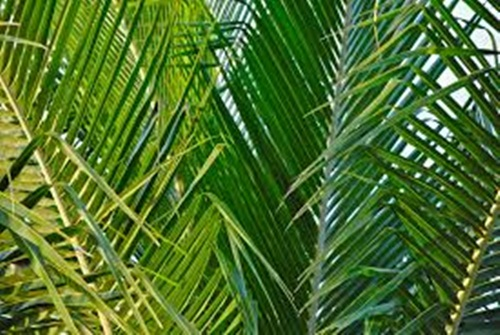 Palm leaves Hosanna