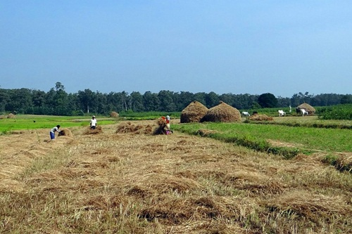 Traditional way fo harvesting paddy rice