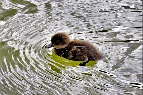 A duckling swimming