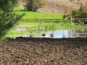 Ducks in garden pond