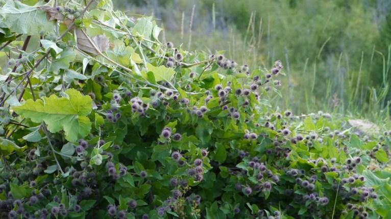 Burdock Weeds