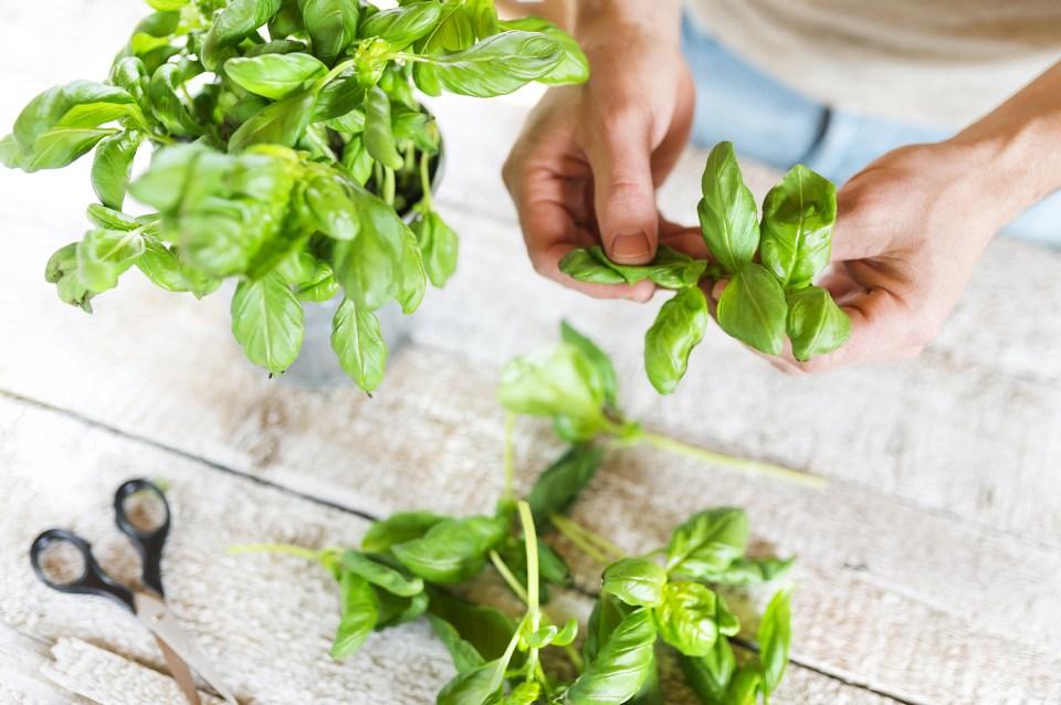 basil leaves P7SLLU9