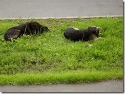 собаки. исказившие себя волки. 003
