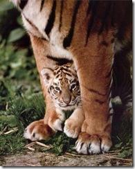 Tiger-Cub--C10095265