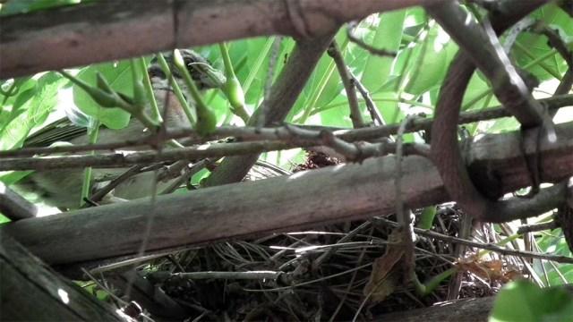 Finkeneltern beim Füttern