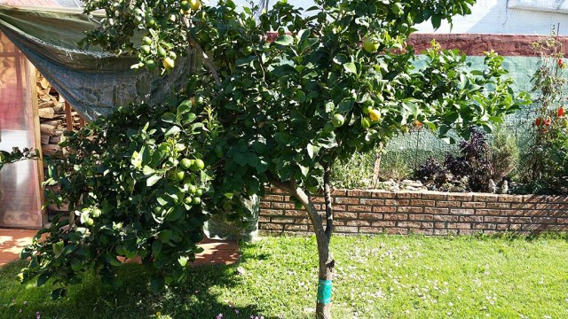 Unsere Zitronenbaum biegt sich unter der Last.