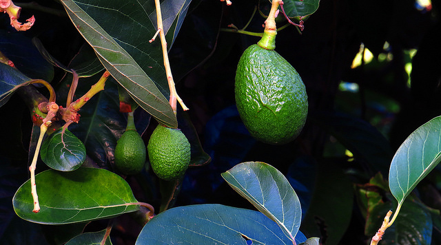 Chile leidet unter den Folgen des internationalen Avocado-Booms