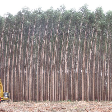Eukalyptus-Monokultur in Brasilien