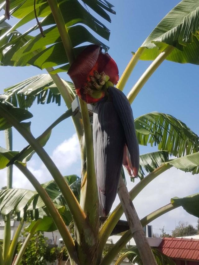 Neuer Fruchtstand an unserer Bananenstaude.