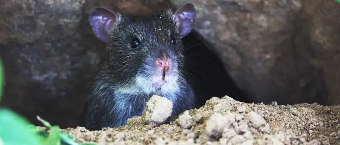 Homemade Rat Poison That Works Homemade Ftempo