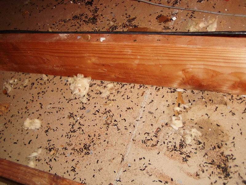 rat control gallery  Rat attic cleanup proofing and control
