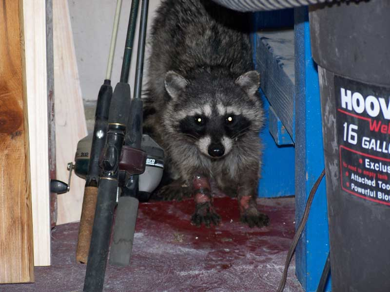 Raccoon Control  Raccoon trapping
