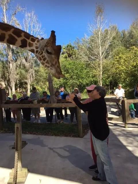 Giraffe memories
